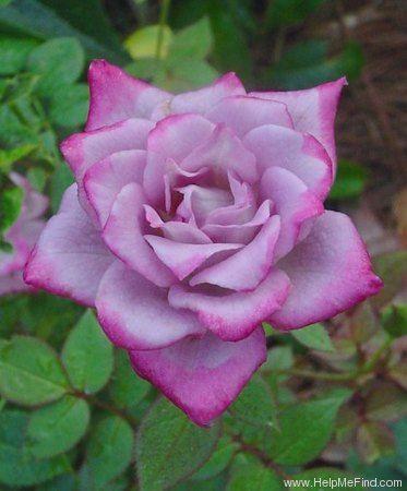 Miniature Rose: Rosa 'Scentsational' (U.S., before 1995)
