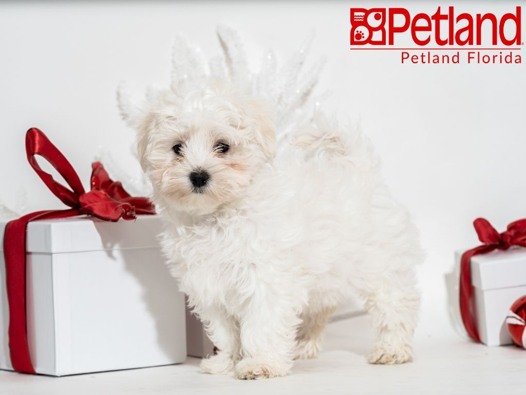 Petland Florida has Maltese puppies for sale! Check out