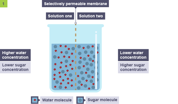 Transport Across Membranes Revision 4 National 5 Biology Bbc Bitesize Biology Revision Water Molecule Cell Membrane