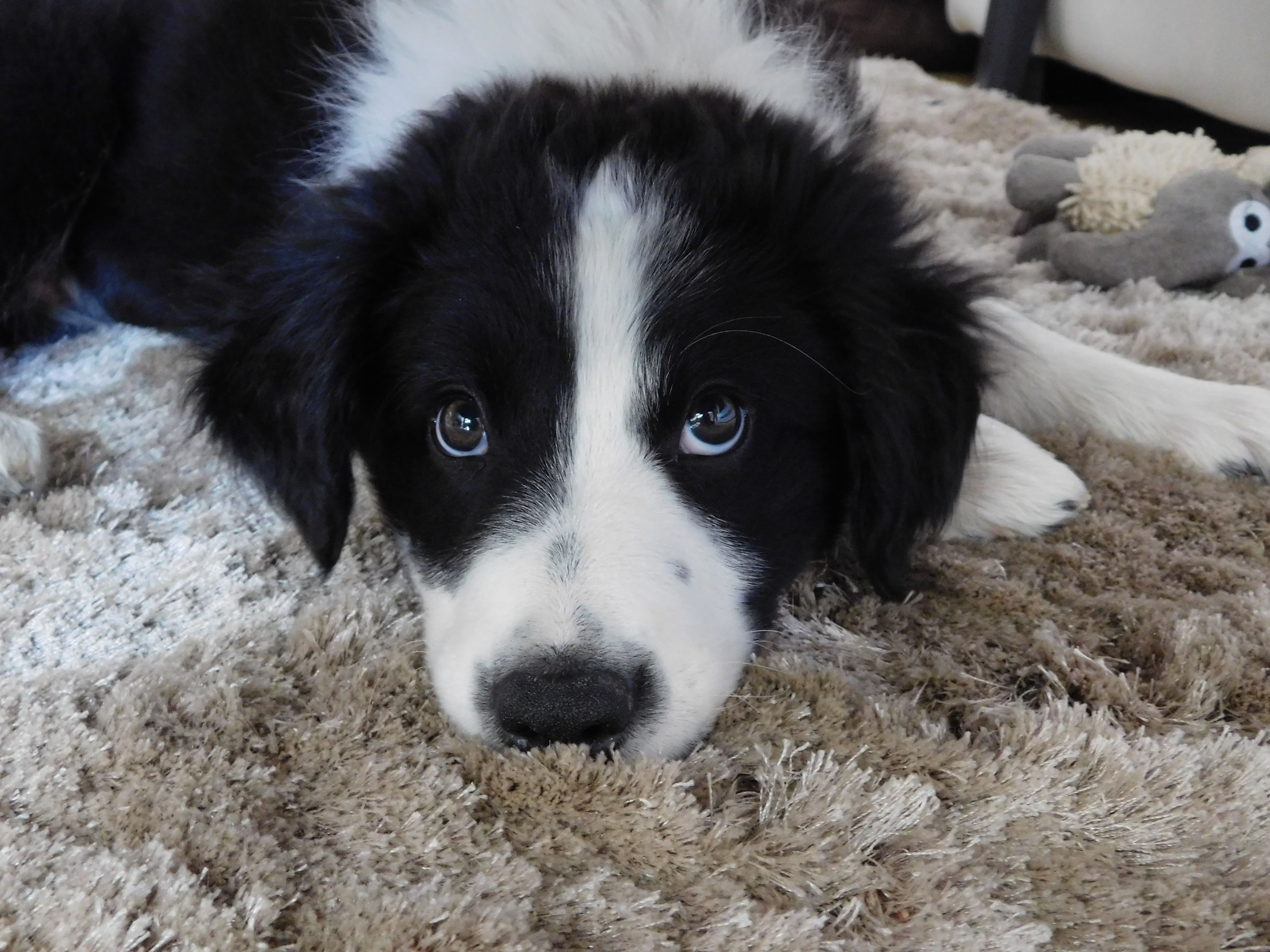 Sam Border Collie Puppy Border Collie Puppies Dogs And Puppies Border Collie