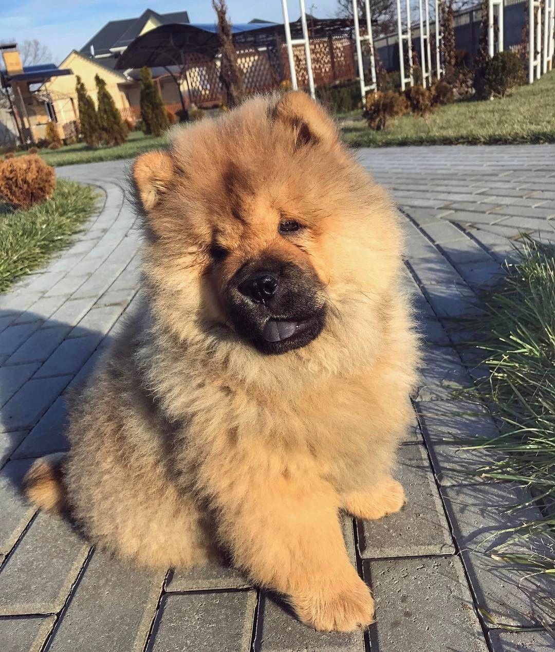 Chow Chow Boo The Dog Dogs Crazy Dog Lady