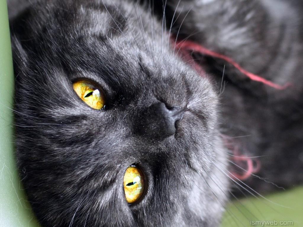 black cat animal hd wallpaper download 5 | wallpaper | pinterest