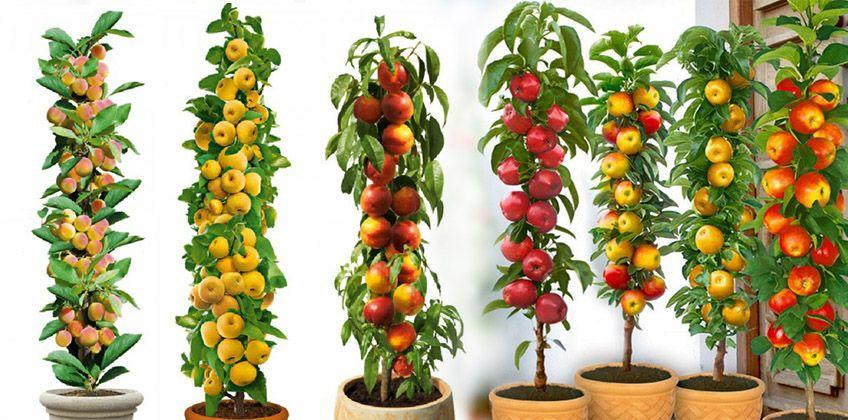 10f1dec293b4146b41a27da7e4b24b6d - Columnar Fruit Trees For Small Gardens