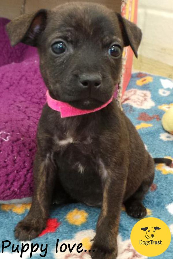 Cilla Is A Beautiful 8 Week Old Staffie Cross Pup Who Needs A