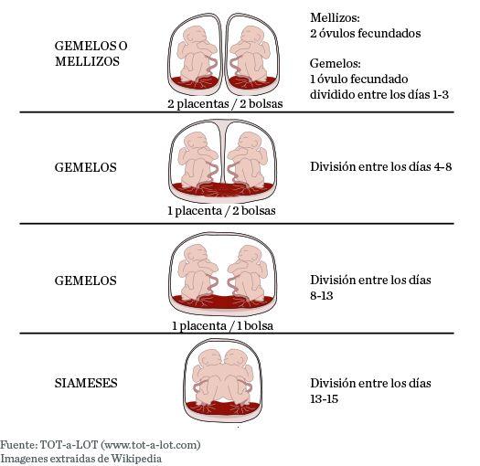Diferencias Entre Gemelos Y Mellizos Placentas Y Bolsas Gemelos Mellizos Gemelos Mellizos