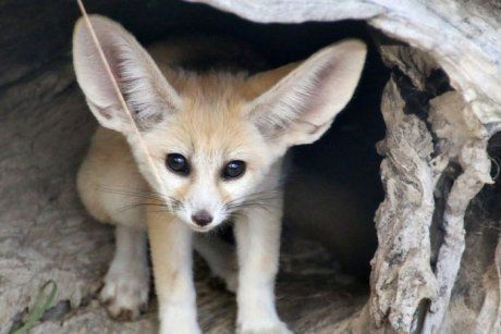 Fennec Fox Kit Born At Taronga Zoo Zoo Born Australia Fennec Fox Baby Baby Animals Cute Animals