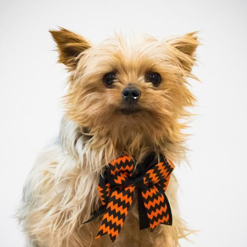 Carter is an adoptable Yorkshire Terrier Yorkie searching