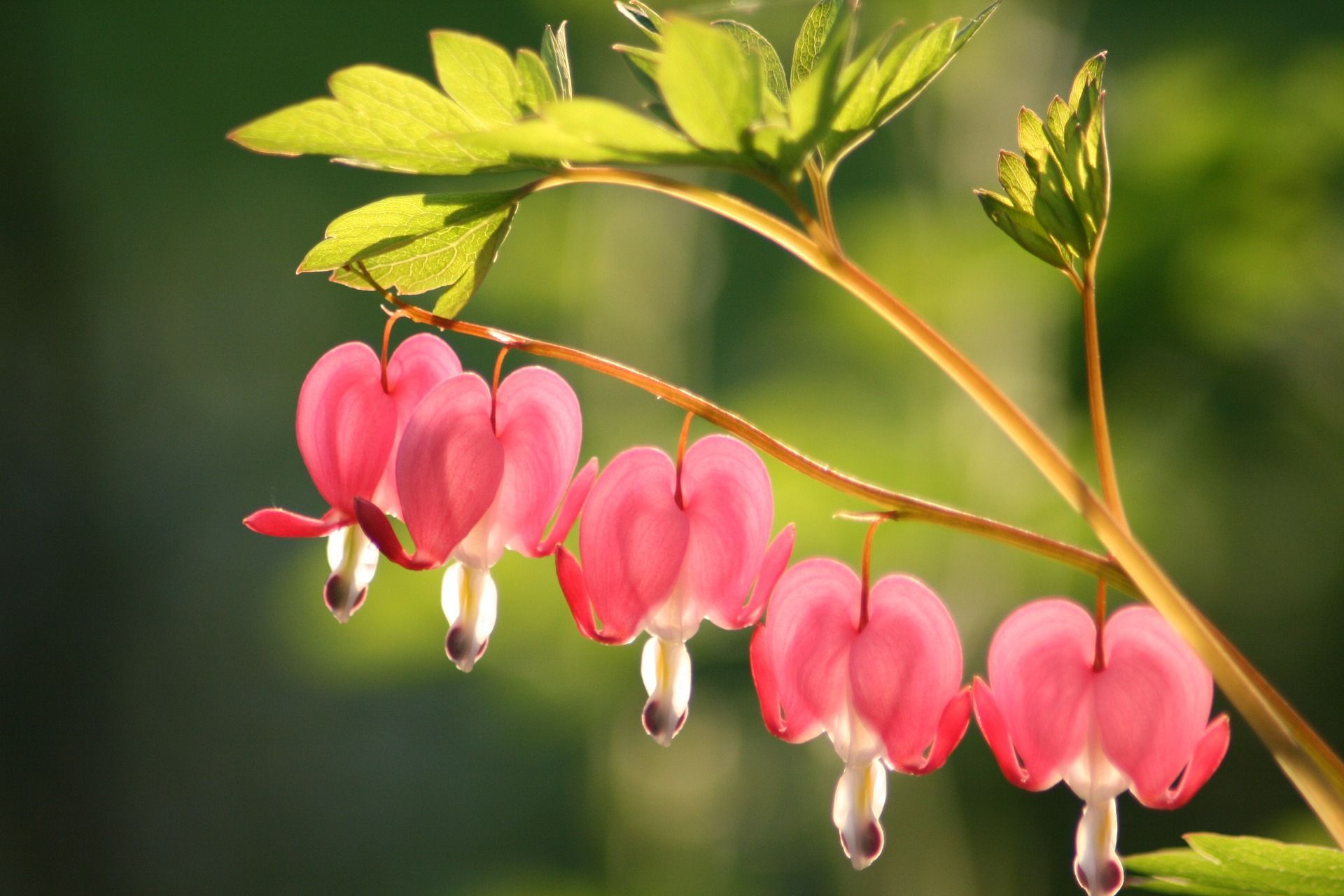 Will You Be Our Valentine Love Plants Bleeding Heart Flower Flowers That Attract Hummingbirds Bleeding Heart