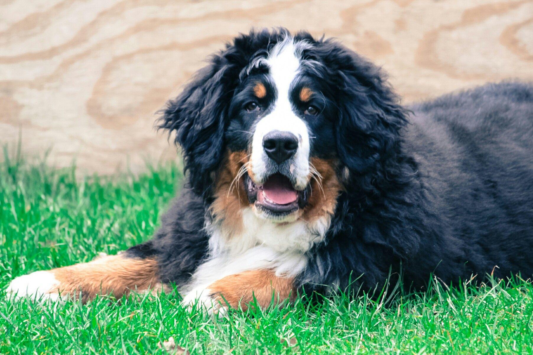 Bernese Mountain dog Puppy Noa Bernese mountain dog