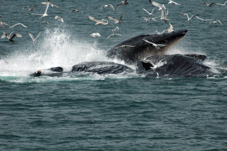 Juneau, Alaska, Healy, Alaska - Hump back whales bubble net feed off the coast of of Juneau, Alaska. Amazing sight to see.