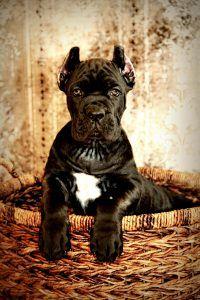 Cane Corso Puppies Cane Corso Breeder Italian Cane Corso