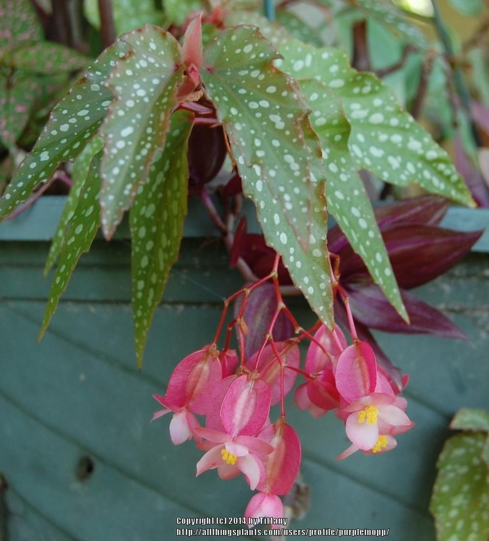 Begonia: home care for its comfortable life all year round 45
