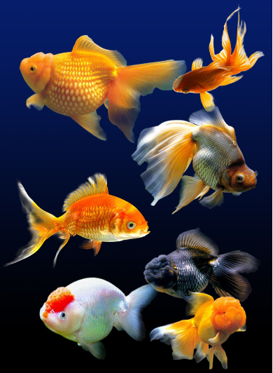 feng shui tips for fish colorfeng shui tips for fish color