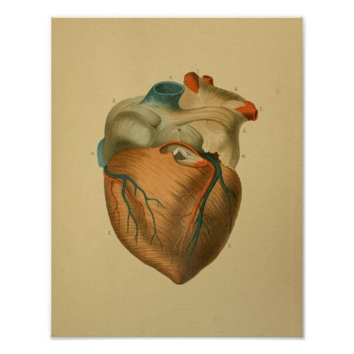 Vintage 1879 anatomical print illustration. View of the human heart ...