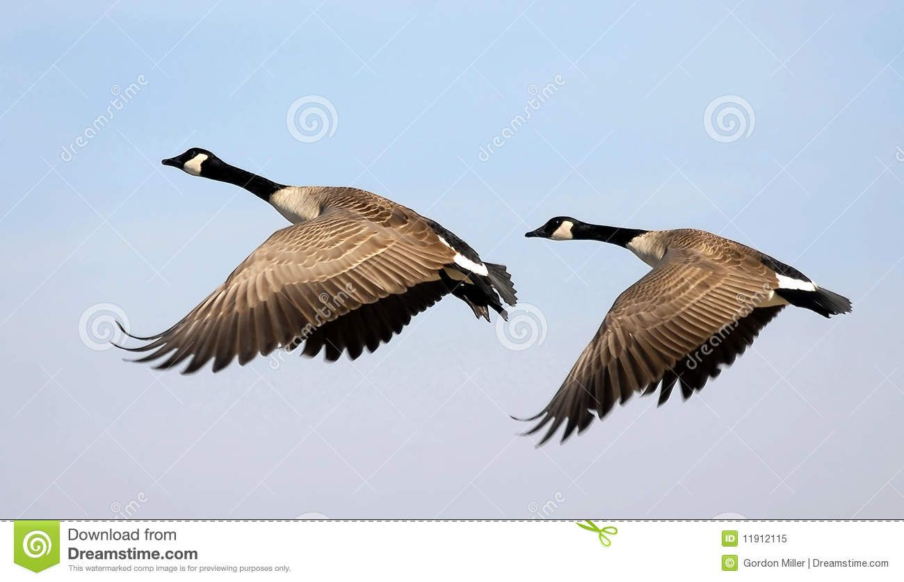 Flying Geese Stock Vector Image 50000915 Sillouttes Pinterest