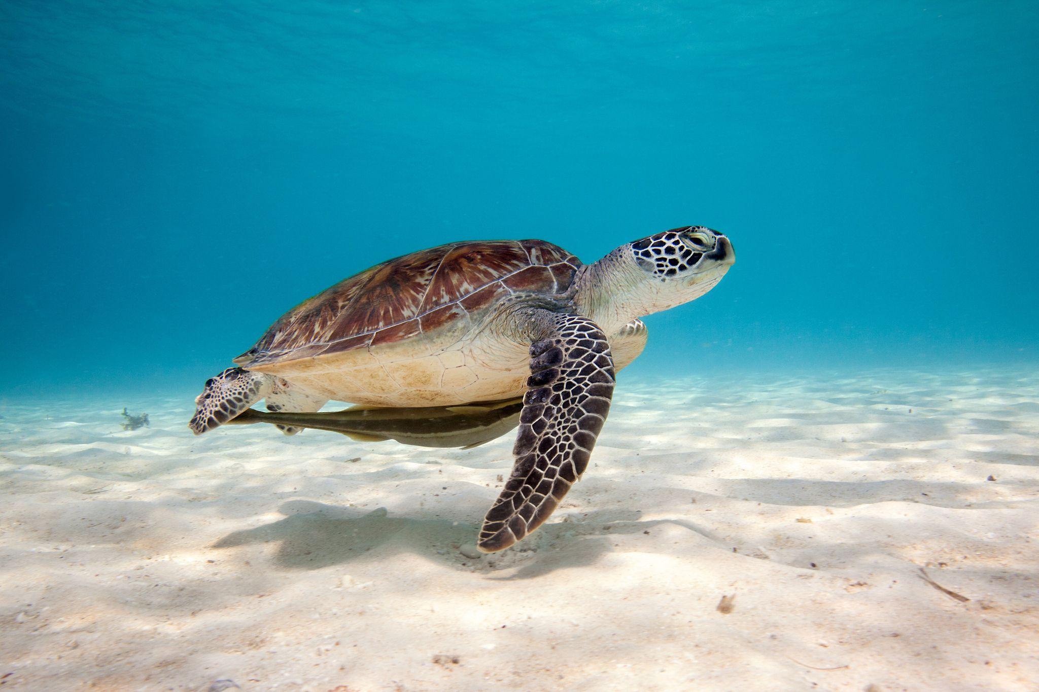 Download Turtle Sea Water Sand Bottom Shell Wallpaper Picsinhd Turtle Wallpaper Sea Turtle Wallpaper Sea Turtle