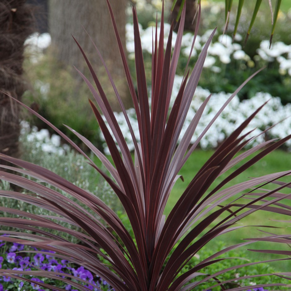 Cordyline Australis Red Star Cabbage Palm In 2020 Palm Trees Garden Small Evergreen Shrubs Evergreen Shrubs