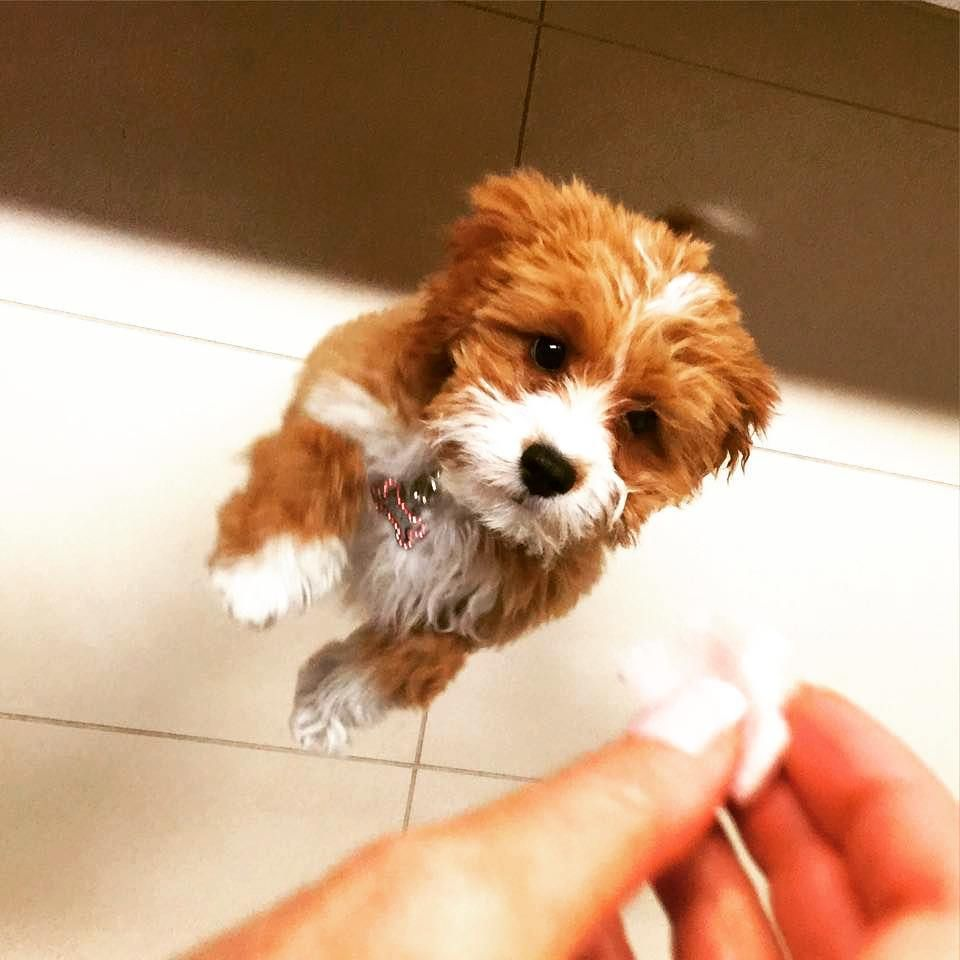 Lily the Cavoodle Cute little animals, Puppies for sale