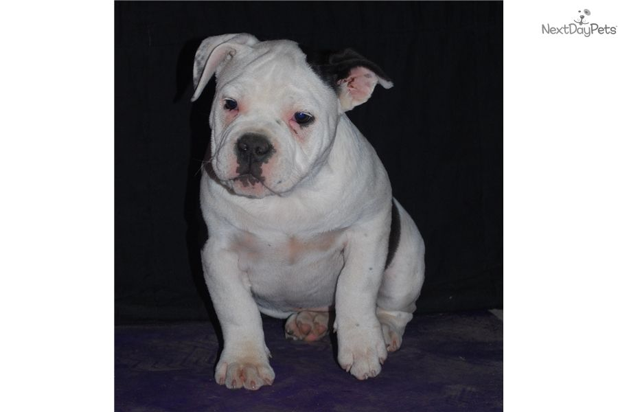 American Bully Puppy For Sale Near Chicago Illinois 492e13f8