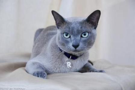 Tonkinese Are A Domestic Cat Breed Produced By Crossbreeding