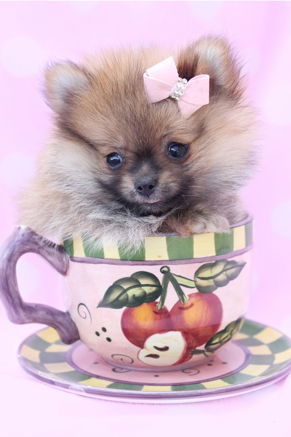 Pomeranian Puppies For Sale in Florida Pomeranian puppy