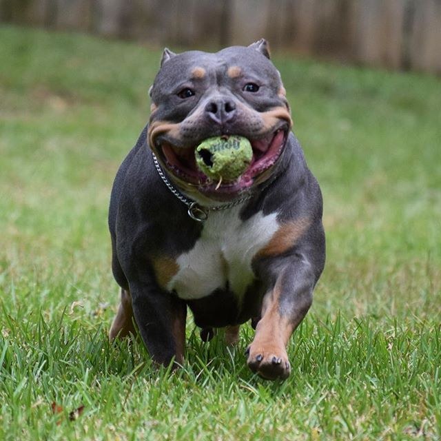 American Bullies For Sale In Alabama American Bully American Bully For Sale Dog Love