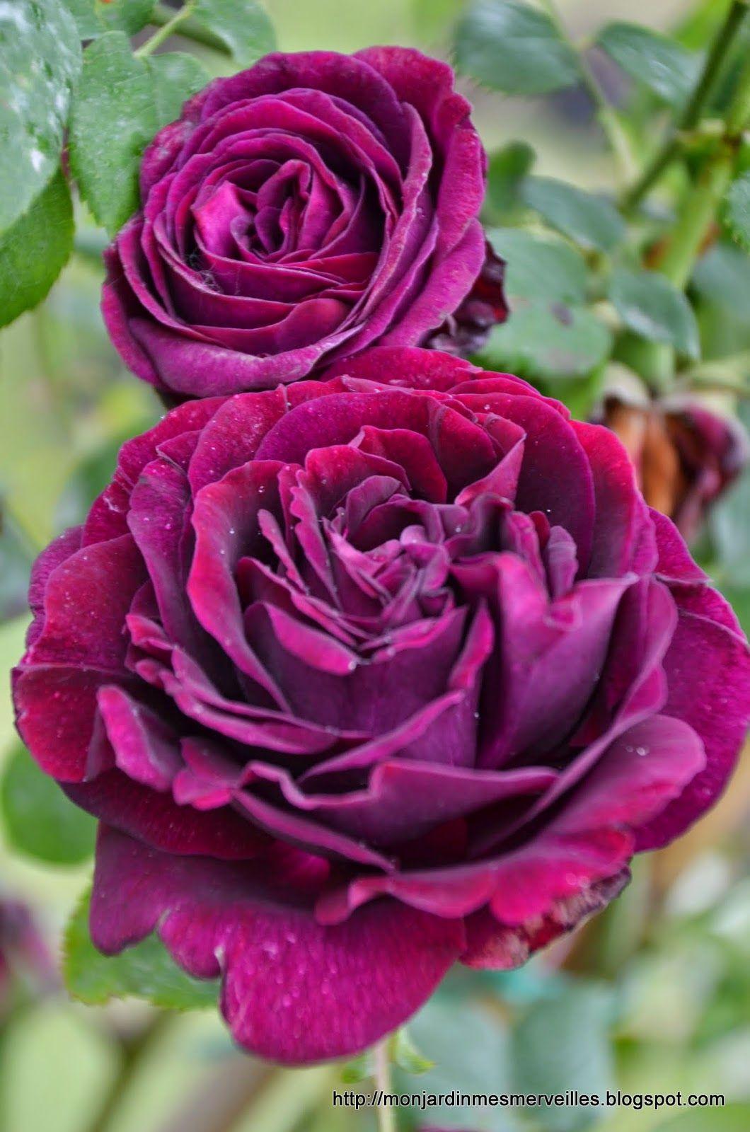 Rose 'Gypsy Boy' (syn. 'Zigeunerknabe') Bourbon/buskros Höjd: 90-180 cm Doft: Medel Engångsblommande Klarar kyla (zon 6) och svåra lägen (tunn jord) bra.