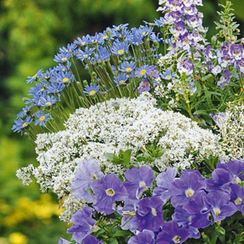 1x Staude Garten Pflanze Zauberschnee Euphorbia chamesyce Diamond Frost