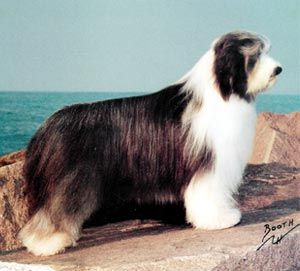 The Westminster Kennel Club Breed Information Bearded Collie