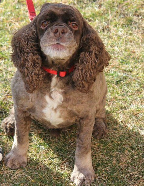 Chocolate is a cute 7 year old chocolate Cocker Spaniel