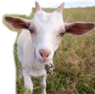 Goat Farming Benefits