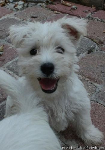 Want A Westie Schnauzer X A Wauzer Wowzer I Love Schnauzer Miniature Schnauzer Puppies Schnauzer Mix