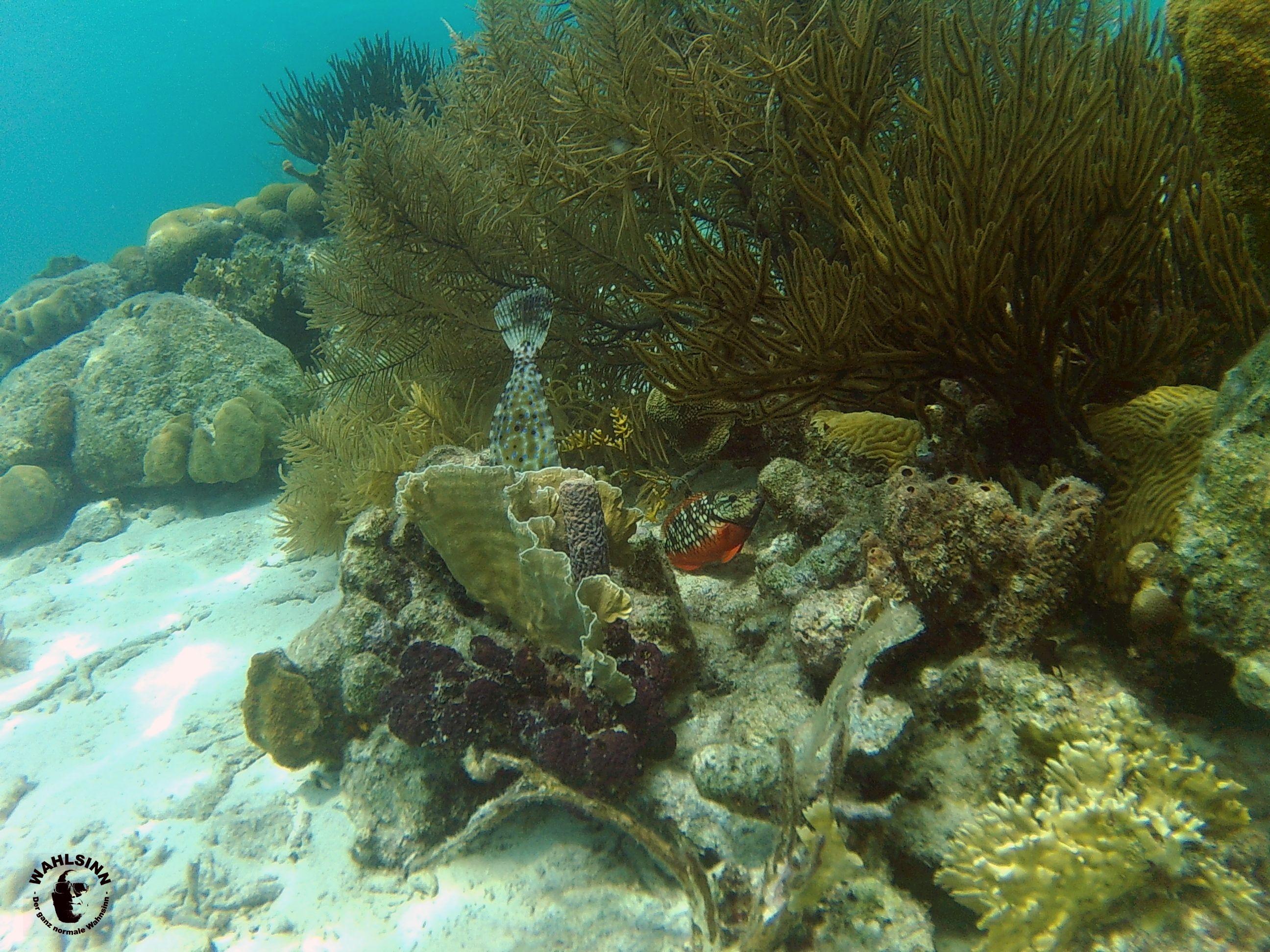 Bonaire - Die Korallengärten fangen knapp einen Meter unter der Wasseroberfläche schon an