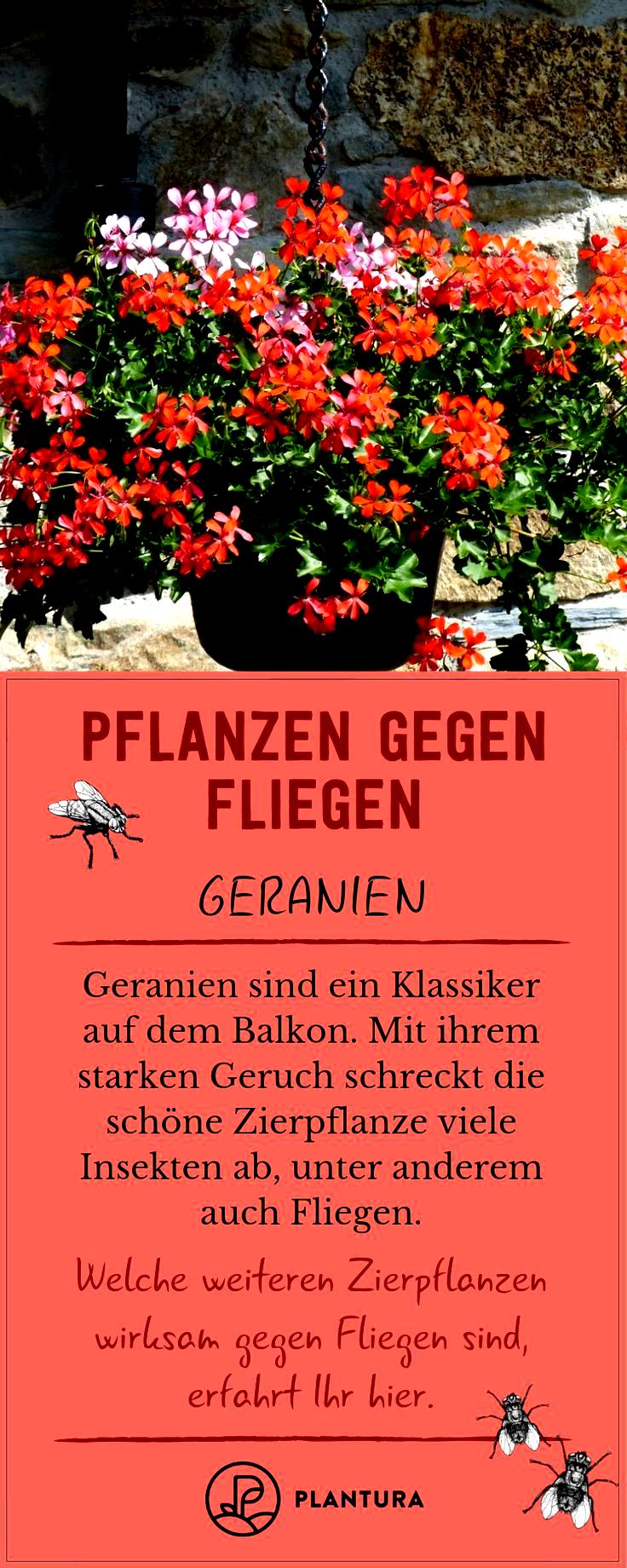 Die Fliegen Gegen Naturlich Pflanzen Plagegeister Sie Vertreiben Pflanzen Gegen Fliegen So Vertreiben Sie Die Plagegeister Naturlich Red Peppercorn