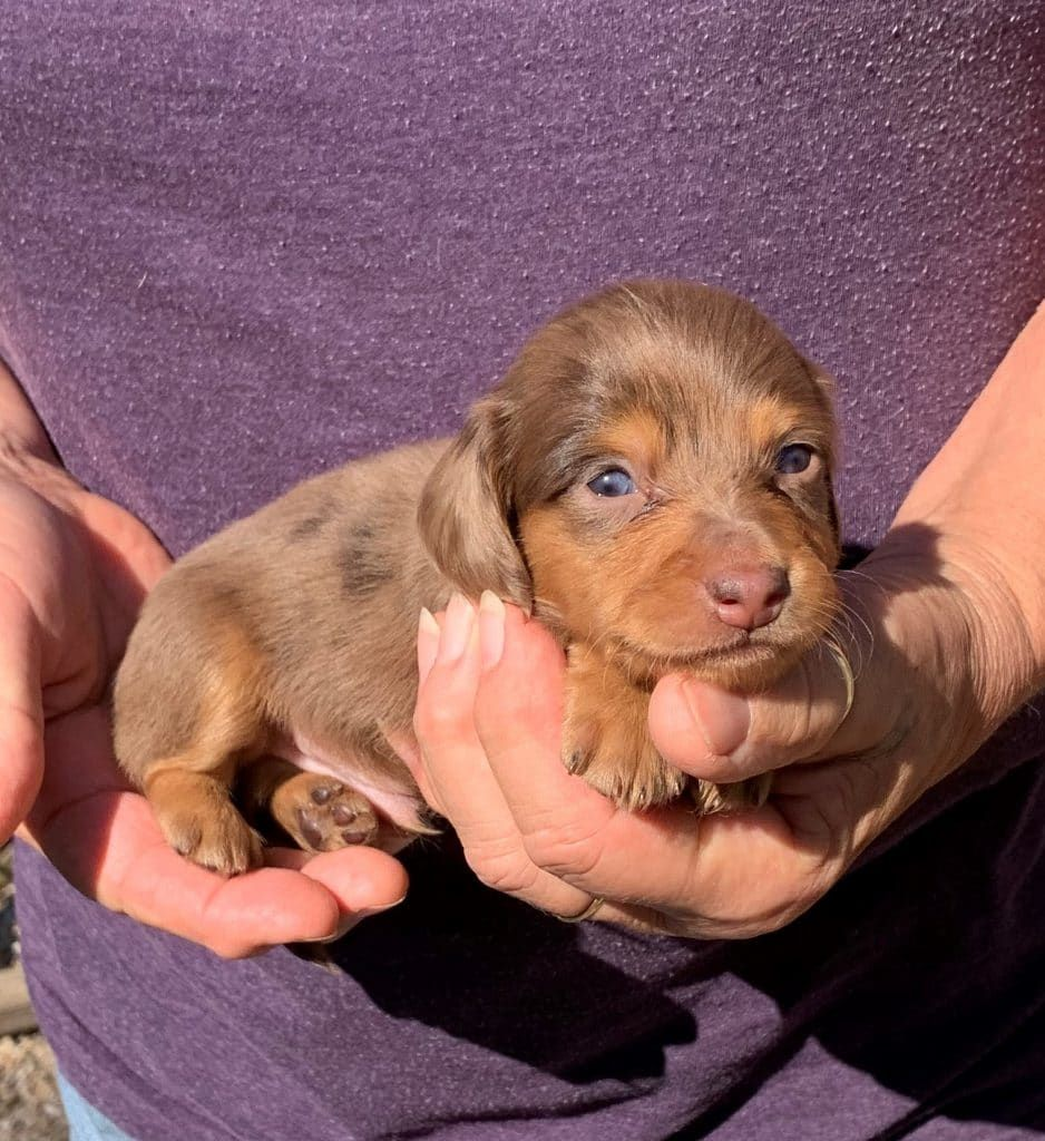 Available Puppies Adults Splendor Farms Dachshunds Of Louisiana Dachshund Breeders Puppies Dachshund