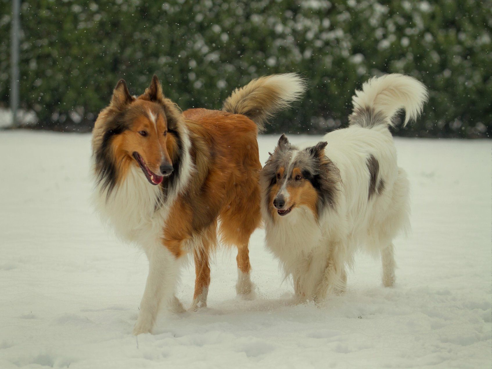 Pin By Elaine Bell On Rough Collies Collie Dog Rough Collie Collie
