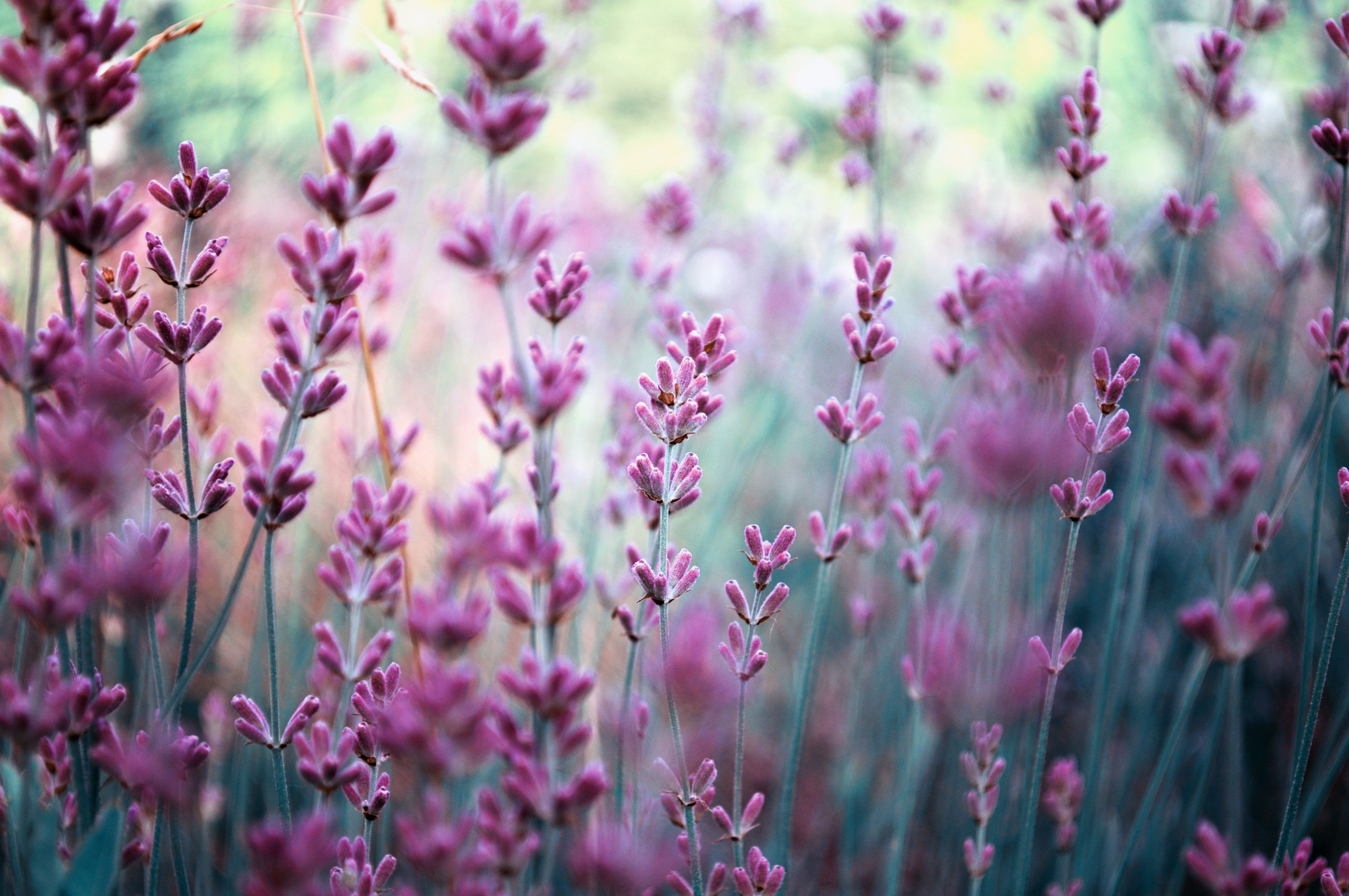 50 Things to Do With Lavender... a beautiful garden plant & well-rounded, intuitive and resourceful herb.