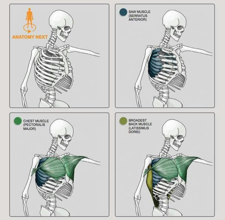 Pin de Pedro Marshall en Human Anatomy | Pinterest | Anatomía ...