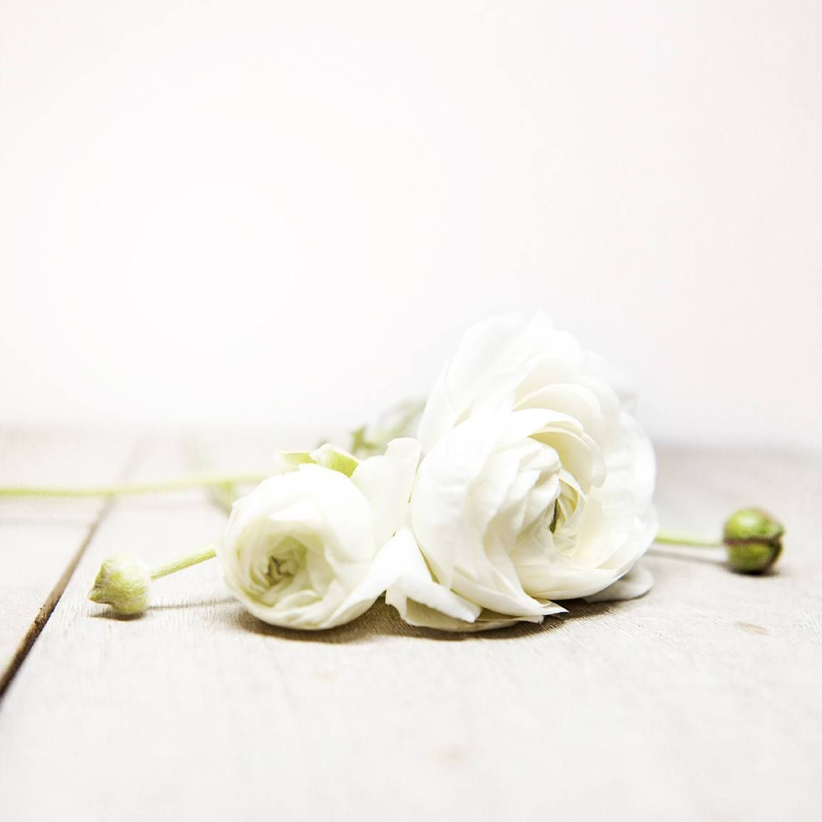 White Ranunculus Flower Photograph Best Photography Nature