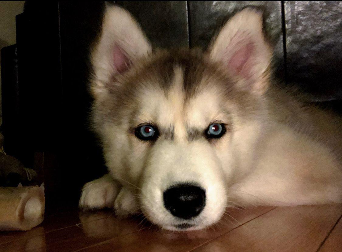 Craigslist Houston Husky Puppies Ideas