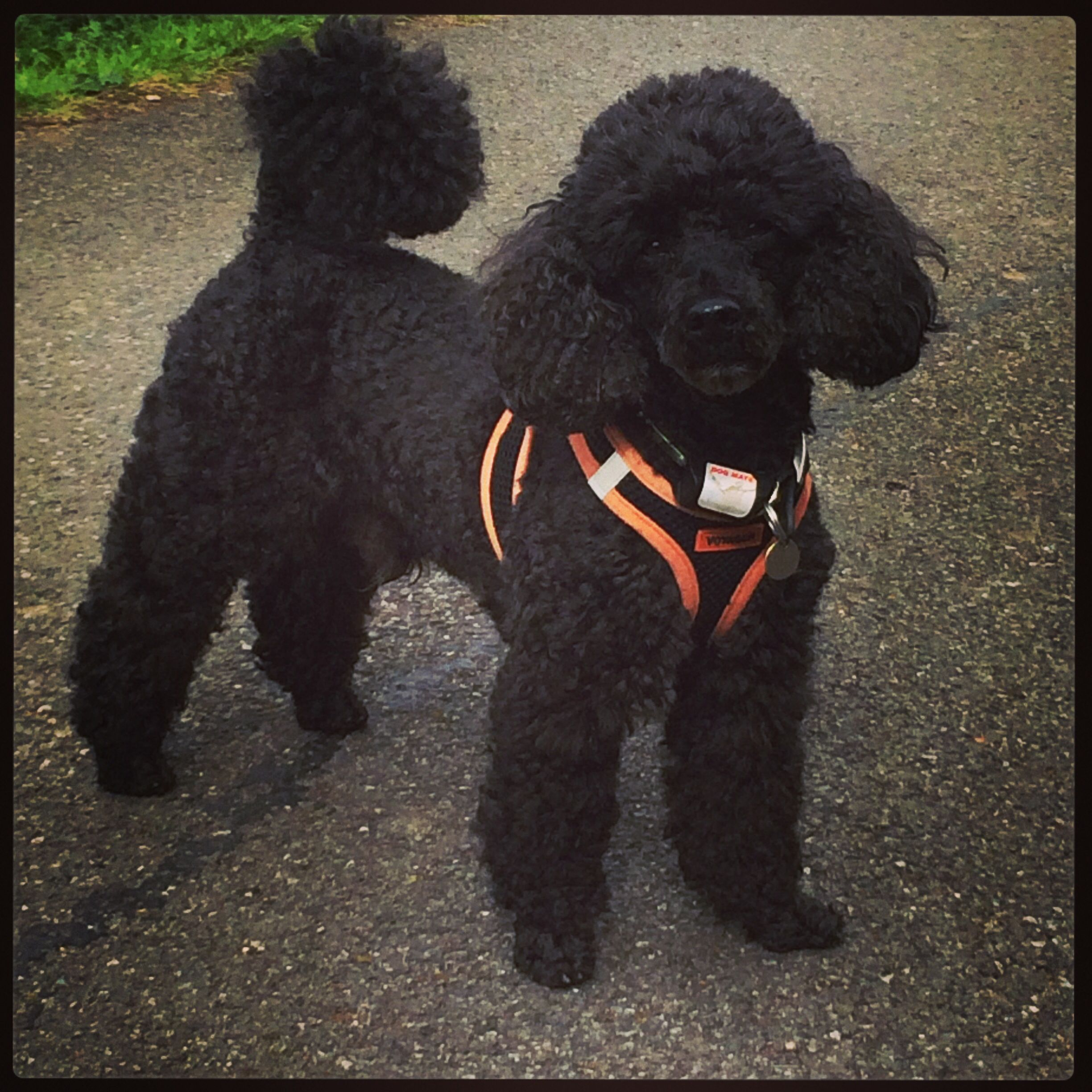 Poodle Toy Black Poodle Poodle Haircut Miniture Poodle