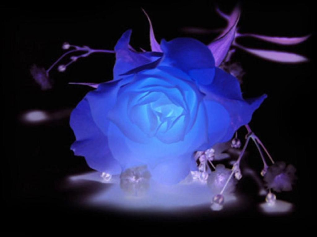 Adenauer Rose Blue And Purple Roses Blue And Purple Rose Wallpaper Download