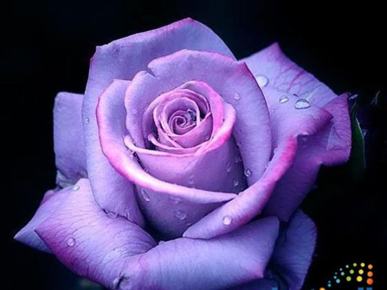 What Rose Color Matches Your Personality With Images Purple