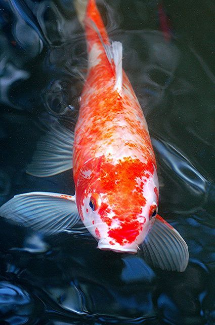 It S Morning And My Friendly Koi Is Waiting To Be Fed Koi Fish Japanese Koi Koi