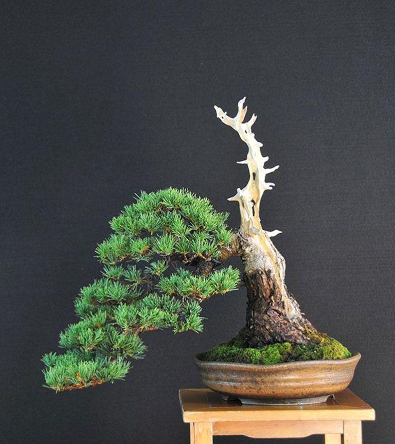 affter Indoor bonsai tree, Bonsai tree care, Bonsai tree