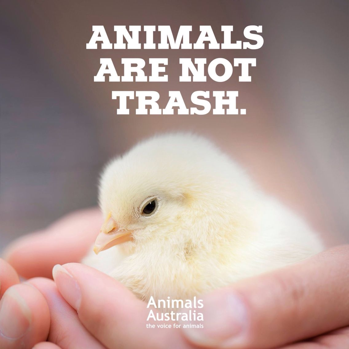 millions of male baby chicks are destroyed every day in a garbage