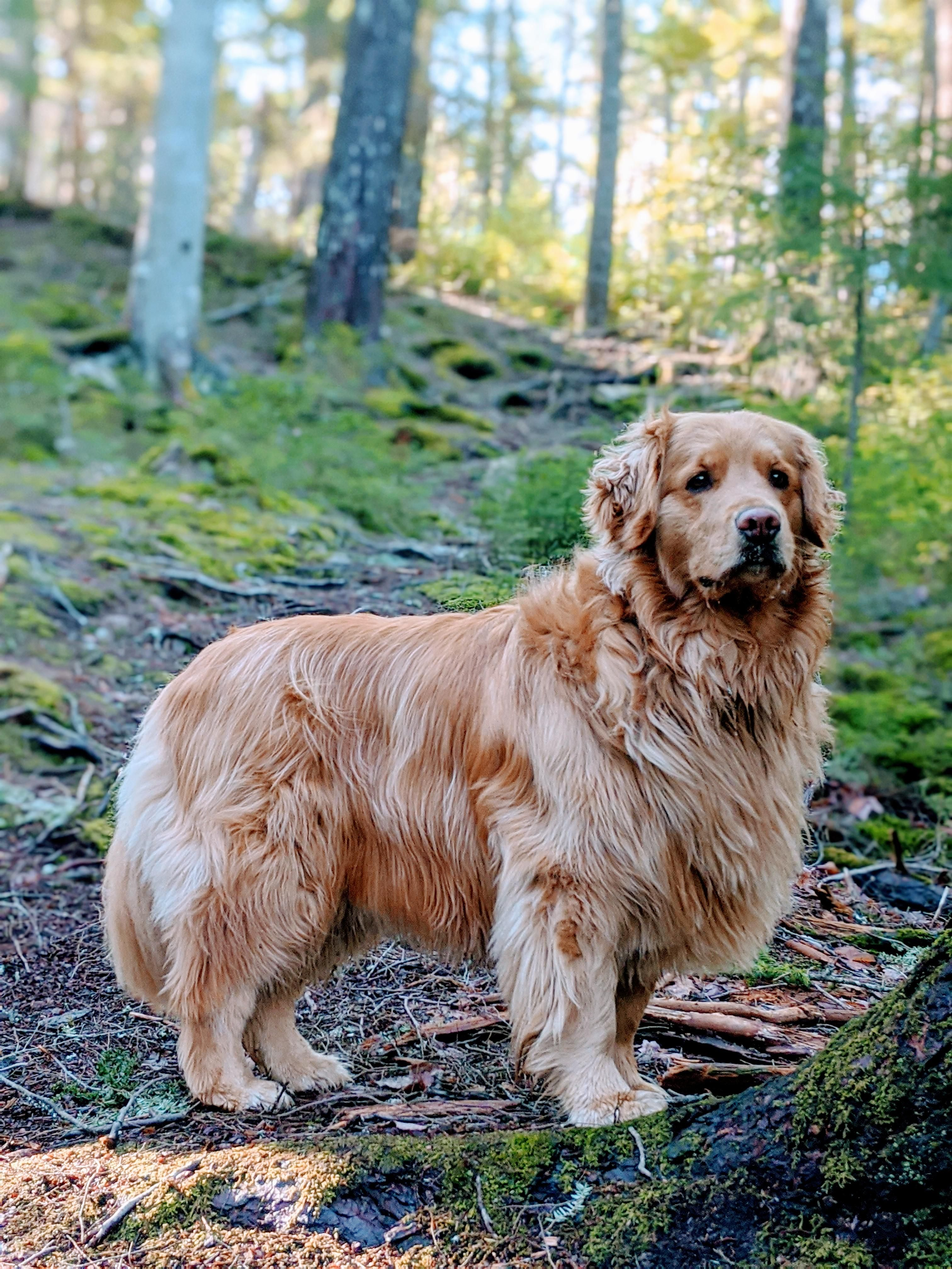 47 Adorable Golden Retriever Mix Breeds In 2020 With Images Golden Retriever Dogs Golden Retriever Retriever Mix