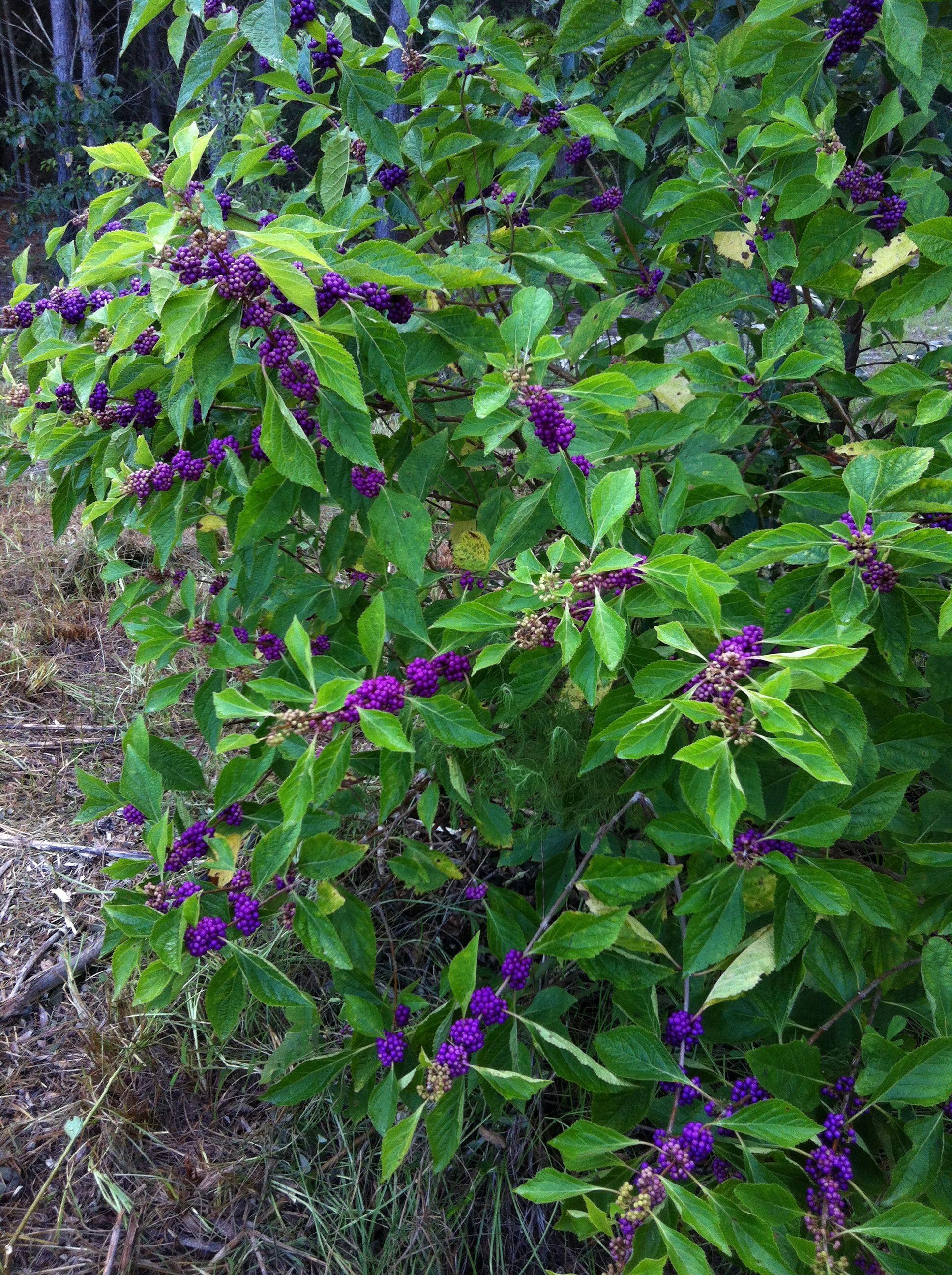 Callicarpa Americana American Beauty Berry Bush Berry