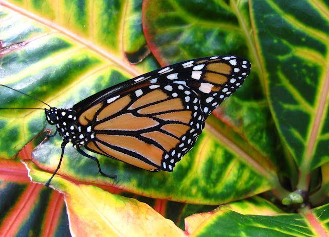 Monarch on croton