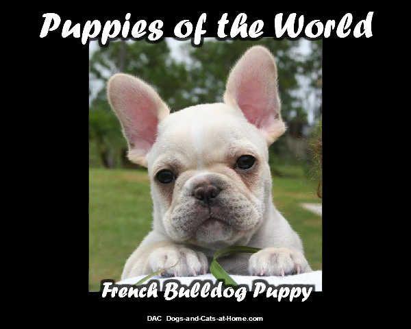 French Bulldog Puppy Babyhunde, Süßeste haustiere